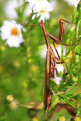 (zsolt75) Tags: canon100d sigma 70300 hungary bug nature outdoor forest green macro insect mantis