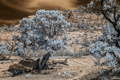 DSC_0095-EditFAA (john.cote58) Tags: ir infrared mountains rock stone geography growth outdoors outside statepark art design landscape ancient utah zionstatepark zion nationalpark trees spring seasons sky surreal contrast nature color