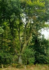 Bume in Brunsholm - Stieleichen (Quercus robur) auf einer Viehweide; Bergenhusen, Stapelholm (10) (Chironius) Tags: stapelholm bergenhusen schleswigholstein deutschland germany allemagne alemania germania    ogie pomie szlezwigholsztyn niemcy pomienie rosids fabids buchenartige fagales buchengewchse fagaceae eiche quercus stieleiche baum bume tree trees arbre  rbol arbres  rboles albero oak chne  roble quercia rovere ek carvalho mee eik   rvore aa boom trd deutscheeiche quercusrobur