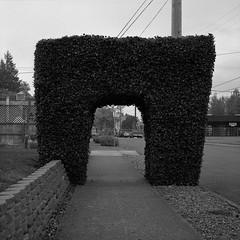 Portland (austin granger) Tags: hedge portland pruned sculpted shaped sidewalk shrubbery arch form austingranger evidence gf670