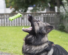8/12 - Gotcha! (Nick Mitha) Tags: diesel german shepherd dog alsatian agouti wolf gray play fetch bone toy sony a77ii minolta maxxum 50mm f17 12monthsfordogs2016