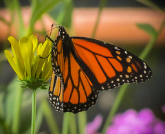 Monarch on a Coneflower (mahar15) Tags: butterfly wings coneflower plant flower nature outdoors insect bloom butterflyonflower butterflywings monarchbutterfly yellowflower