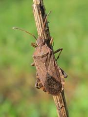 Ceraleptus gracilicornis (bKarolyi [HU]) Tags: ceraleptus gracilicornis tüskéslábú karimáspoloska