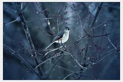 (Reckluce) Tags: hipstamatic vintage photoediting photoedit weathered old distressing grunge tuftedtitmouse birdsinwinter winter snow bird nature wildlife