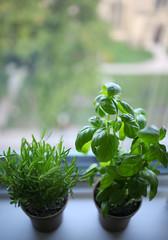Rosemary, basil (Merisa Lee) Tags: spices plants green basil rosemary growing herbs