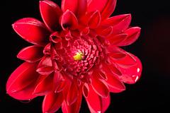 Red Flower (benevolentkira7) Tags: flower plant red growing outside damp wet moist water petal petals pollen yellow dark bokeh macro close up closeup beautiful