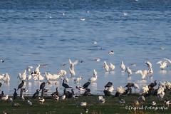 Texel september 2016 (Ingrid Fotografie) Tags: deschorren ingridfotografie lancasterdijk lepelaar natuurmonumenten plaats texel texel2016 vakantie vogels waddenzee zee
