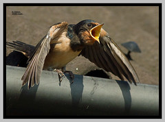 Swallow . (Diddley Bo) Tags: