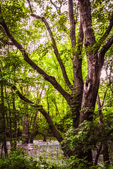 Swampy Elegance (Bobby Palosaari) Tags: basswood beauty branch forest green landscape majestic nature peaceful skyward swamp tall tree trunk wetland