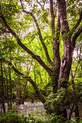 Swampy Elegance (Bobby Palosaari) Tags: basswood beauty branch forest green landscape majestic nature peaceful skyward swamp tall tree trunk wetland