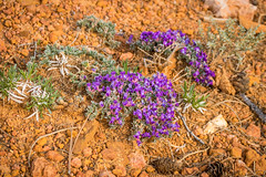 Desert Flowers (Serendigity) Tags: brycecanyonnationalpark outdoors usa landscape unitedstates flowers utah nature