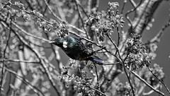 Tui (possumgirl2) Tags: tui nztui nznativebirds nativebirds birds nzbirds selectivecolour canon eos80d