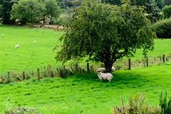The Grass is Greener in your garden said the sheep! (Explore 27/09/2016) (Sue_Todd) Tags: animals autumn colours ewe ewes farmanimals flock garden grass green lawn months september sheep white bianco biay blanc blanco branco greenish greens greeny groen grn grn grnn grn hvid hvit valkea valkoinen verdajn verde vert vihre vit weis wit yeil zielony