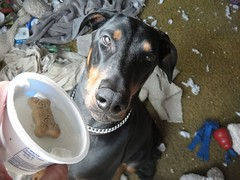 1474659665_2016_Sep_23_15-41-05_yogurt135 (yclept8) Tags: doberman julie