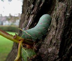 Poplar Hawkmoth larvae (Furious purpose) Tags: poplarhawkmothlarvaelepidopteramothsmothingmothfansbugsinsectsnatureurbanwildlifeoutdoorsupclosemacrowork summerwatch springwatch