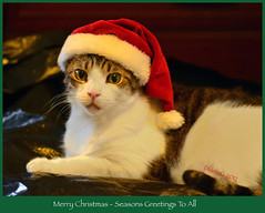 Nigel (Diane G. Zooms) Tags: cats pets coth supershot christmascats kittyschoice coth5 sunrays5 beautiesbeasts