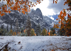 Some Yosemite Solace (DM Weber) Tags: california park autumn snow fall leaves rock landscape oak meadow deer national yosemite cooks faun sentinal psa148 dmweber