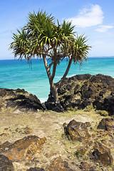 Lone Pandanus sitting atop Fingal Head (Tim Jordan Photography) Tags: blue tree beach water rocks paradise waves australia tropical newsouthwales whitesand volcanic goldcoast pandanus dreamtime fingalhead timjordan timjordanphotography
