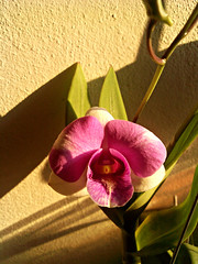 orchid (som300) Tags: plant flower motorola zn5 orchid