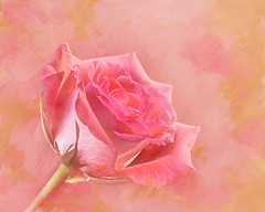 Dipped in Pink (Chason Photos) Tags: pictures lighting pink flowers light red roses plants white plant flower green art texture nature leaves rose yellow gardens composite lady yard america photoshop garden painting outside outdoors photography photo leaf petals interestingness nikon paint flickr december photographer photos outdoor background picture petal textures photographs photograph american greens bloom buds lightning bud blooms delicate reds pinks textured 2012 chason d90 nikond90 chasonphotos