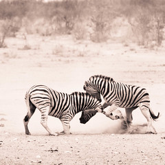 """Zebra fighting in Etosha National Park, Namibia • <a style=""""font-size:0.8em;"""" href=""""https://www.flickr.com/photos/21540187@N07/8291790177/"""" target=""""_blank"""">View on Flickr</a>"""