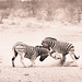 "Zebra fighting in Etosha National Park, Namibia • <a style=""font-size:0.8em;"" href=""https://www.flickr.com/photos/21540187@N07/8291790177/"" target=""_blank"">View on Flickr</a>"