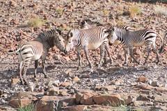 "Hartmanns Mountain Zebra in Etendeka Tablelands, Namibia • <a style=""font-size:0.8em;"" href=""https://www.flickr.com/photos/21540187@N07/8292851444/"" target=""_blank"">View on Flickr</a>"