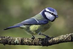 Blue tit (Mitchy P) Tags: bird nature wildlife panasonic bluetit gh3 microfourthirds lumixgvario100300mm