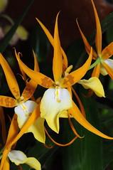 Miltassia hybrid (Nurelias) Tags: flowers flores orchid flower color macro fleur beautiful forest photography flora nikon rainforest colorful orchids orchidaceae tropical orquidea orchidee makro flore orchideen d7100 orchidales