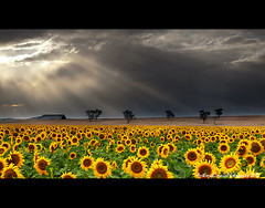 The Far Road (AnthonyGinmanPhotography) Tags: farm sunflowers nsw sunrays focusgroup