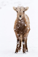 Bighorn Sheep Lamb in Snow (Free Roaming Photography) Tags: winter usa baby white snow cold west weather animal standing mammal snowflakes stand sheep wildlife young lamb northamerica snowing wyoming jacksonhole bighornsheep nationalelkrefuge