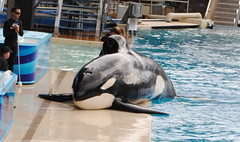 Keet (EchoBeluga) Tags: california training san diego killer whale orca seaworld shamu