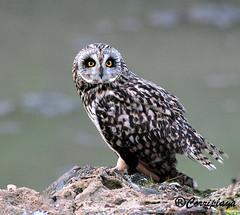 Búho campestre (Asio flammeus) Short-eared Owl (Corriplaya) Tags: birds aves shortearedowl asioflammeus búhocampestre corriplaya