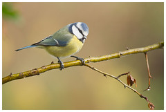 Blue Tit (Franois dt) Tags: bird nature canon titmouse songbird