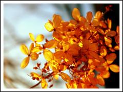 Yellow Flowers (~Bella189) Tags: christmas flowers macro yellow 2012 shallowdof storybookwinner pentaxk5