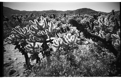 Joshua Tree 1 (BW3200) Tags: blackandwhite bw cacti desert joshuatree lomolca