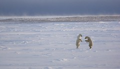 Two Male Polar Bears Sparring, with Dark Layer of Vapour at the Edge of the Ice (John Hallam Images) Tags: bear mist snow canada ice standing dark manitoba polarbear edge churchill layer males cape environment polar upright vapour sparring hudsonbay capechurchill polarbearssparring bearssparring