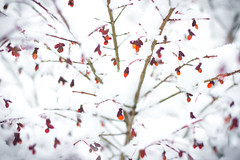 364/366 Branches in Winter (melbaczuk) Tags: trees winter red snow canon 50mm bush bc branches kelowna 365 burningbush challange 366 3651 3651project canon7d