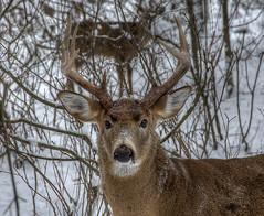 Uncle Buck !! (riclane) Tags: winter snow canada ottawa deer antlers buck whitetaildeer oldquarrytrail