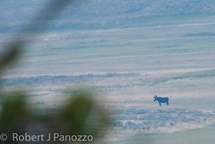 It's not the shot, it's the Subject..... (ChicagoBob46) Tags: moose yellowstonenationalpark yellowstone bullmoose