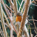 visitor: a European Robin Red Breast