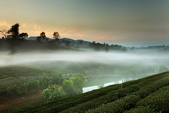 Tea Plantation & Fog (2) (baddoguy) Tags: morning travel mist tourism misty fog landscape thailand tea terrace plantation northern gettyimages chiangrai maefahluang maesalong