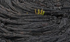 Lava Ropes (Tim Conway) Tags: park winter usa rock america island kalapana volcano hawaii lava islands town big december pattern pacific united rope fresh national hawaiian vegetation hi shield swirl states bigisland volcanoes geology roadclosed volcanic plain destroyed recent swirly kilauea basalt pahoehoe runny geological regrowth igneous volcanoesnationalpark lavaflows evacuated basaltic ropey 2013 easternriftzone kupalanahalavashield kupalanaha paehoehoe
