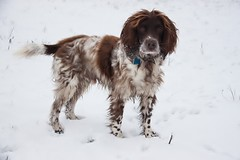 Harvey (TenPinPhil) Tags: dog snow harvey spaniel springer springerspaniel 2013 philipharris tenpinphil