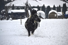 Big snow in Hungary: playing with horse (Attila Ntz) Tags: snow nikon hungary photos magyarorszg h lbny fotk 55300 d3100