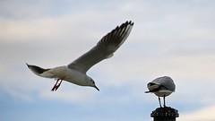 [AA0359]* 2013/01/21_003 (sdb66) Tags: italy birds animals italia day outdoor pe abruzzo pescara nikond200 nikkorafsdxvr18200mmf3556gifed rawnef mondoanimale