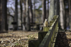Howdy! HFF (triggzBb) Tags: park morning usa animal fence photography woods nikon squirrel texas huntsville friday parklife huntsvillestatepark hff foxsquirrel 85mmf18 nikond90 happyfencefriday