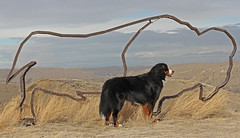 4/52 What Once Was (bernerful-life) Tags: dog mountain buffalo bison prairies bernese 52weeksfordogs