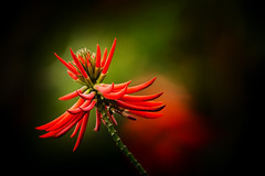 ~~ Kaffir Coral Tree ~~ Happy Lunar New Year ~~ (Fu-yi) Tags: flowers red plant color yellow minolta bokeh sony taiwan 328 300mm alpha  dslr  erythrina fabaceae tones taoyuan   coraltree   dasi      formosan    shihmenreservoir        bestcapturesaoi  kaffircoraltree  photographyforrecreation erythrinacaffrathunb