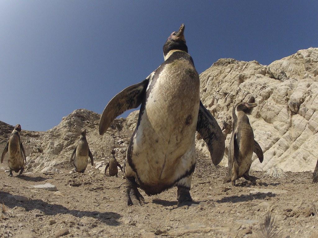 penguins � spy in the huddle john downer productions ltd